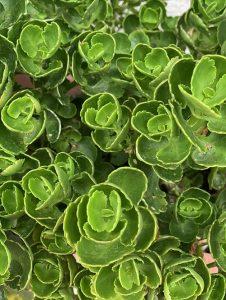 iPhone XS Max 植物 画像